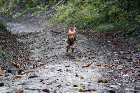 puppy dog cocker spaniel running in the autumn green courtyard