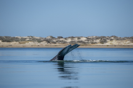 grey whale tail travelling pacific ocean in baja california