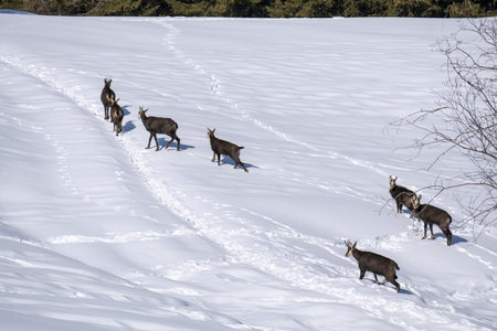 Chamois deer family on white snow background in winter Banque d'images