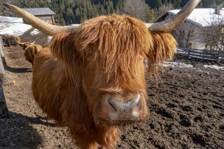 Highlander scotland hairy cow frozen nose detail Stock Photo