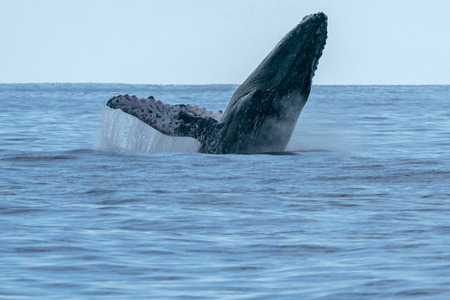 humpback whale breaching on pacific ocean background Reklamní fotografie