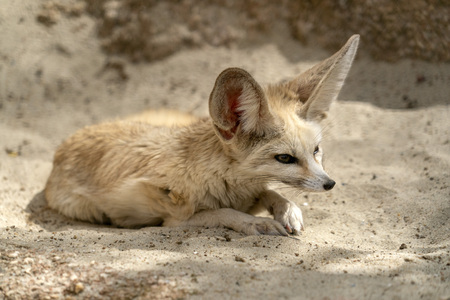 Fennec desert fox portrait looking at you