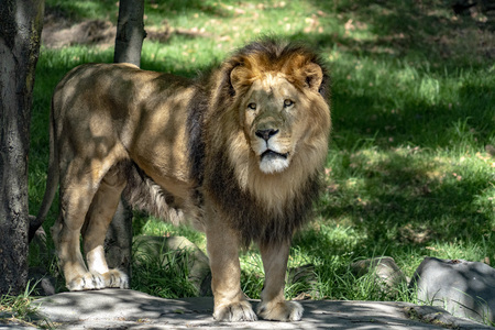 portrait of african male lion on forest savana background looking at you Stock Photo - 120281743