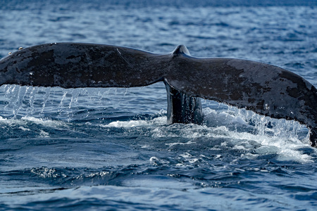 humpback whale tail submerging on pacific ocean background