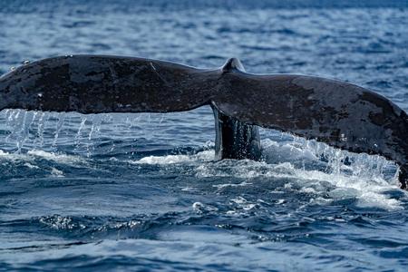 queue de baleine à bosse submergée sur fond de l'océan pacifique Banque d'images