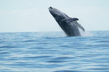 baleine à bosse violer sur fond de l'océan pacifique à cabo san lucas mexique Banque d'images
