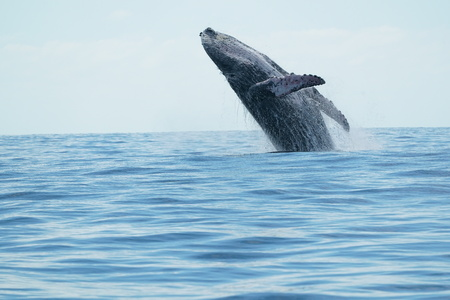 humpback whale breaching on pacific ocean background in cabo san lucas mexico