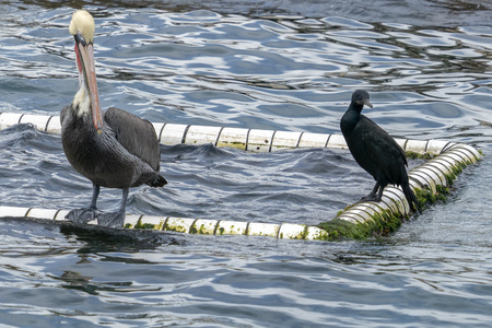 Pelican and cormorant on water background Stock Photo