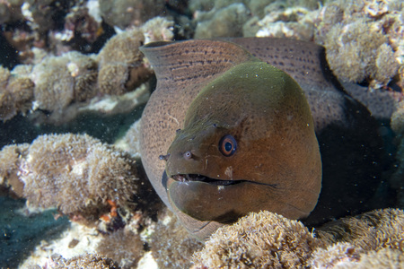eel mooray portrait while hiding on its reef nest
