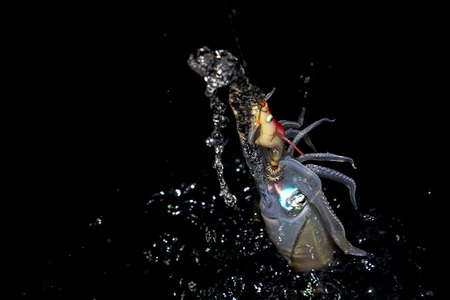 fishing Colorful Squid cuttlefish at night in maldives