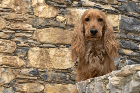 adorable baby puppy dog cocker spaniel portrait looking at you in the courtyard