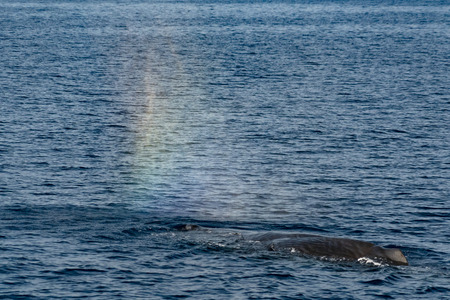 Sperm whale in the blue mediterranean sea blowing like rainbow Stock Photo