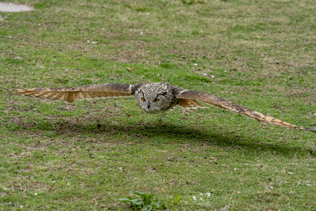 grey owl while flying to you