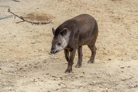 tapir while coming to you