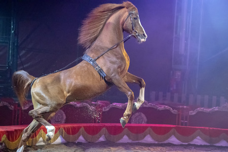 Rampant circus mustang horse during the show Archivio Fotografico