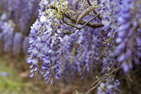 wisteria violet flowers branch hanging Banque d'images
