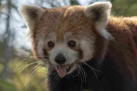 cute red panda portrait close up Standard-Bild - 122413939