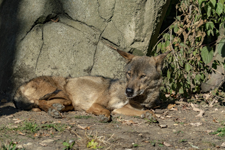 Iberic wolf from spain portrait while relaxing