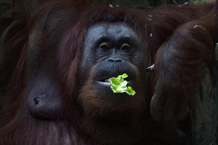 female Orangutan monkey portrait eating