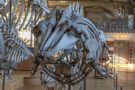 Cuviers beaked whale ziphius cavirostris skeleton
