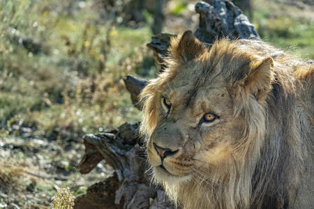 male lion eyes looking at you close up Stock fotó