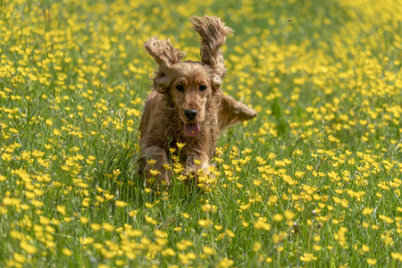 happy cocker spaniel jumping on yellow spring daisy flowers Stok Fotoğraf