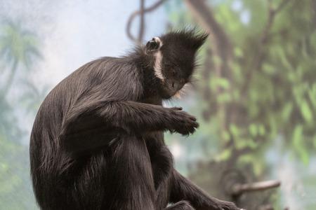 francois langur ape monkey from china and vietnam portrait Stock Photo