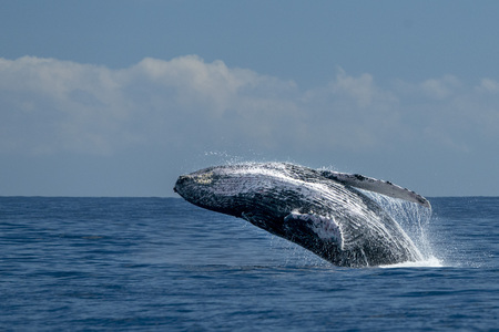 humpback whale breaching on pacific ocean background in cabo san lucas mexico 免版税图像