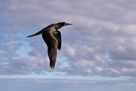 Brown booby Gannet while flying in French polynesia