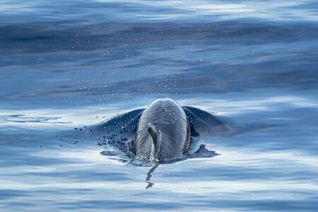 happy striped dolphin jumpin at sunset Foto de archivo