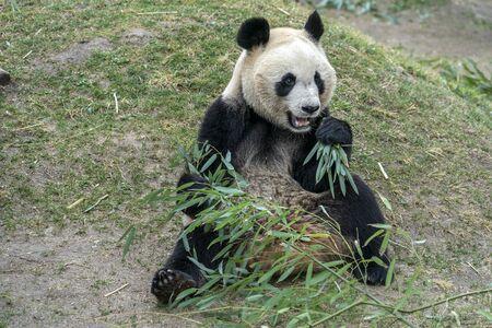giant panda while eating bamboo close up portrait