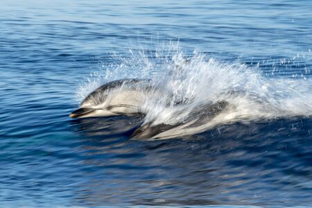 striped dolphin jumping outside the sea Stock Photo