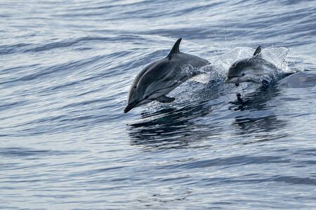 mother and calf baby son striped dolphin jumping outside the sea Imagens