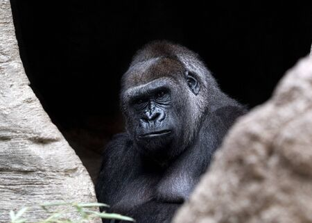 black gorilla ape monkey close up portrait