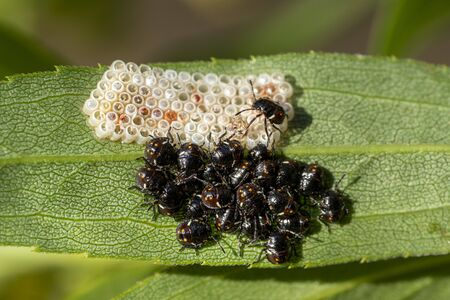 black beatles while laying eggs macro Reklamní fotografie