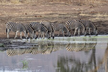 zebra group drinking at the pool in kruger park south africa with water reflection