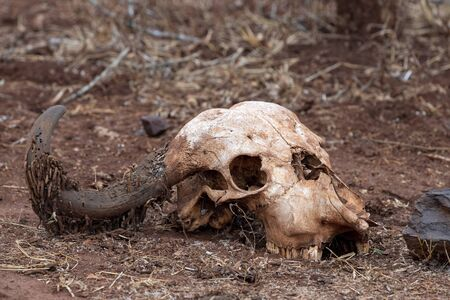buffalo skull in kruger park south africa close up