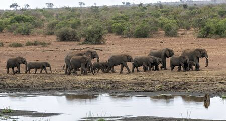 elephant group while drinking at the pool in kruger park south africa Reklamní fotografie