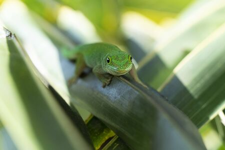 gold dust green gecko on green leave close up