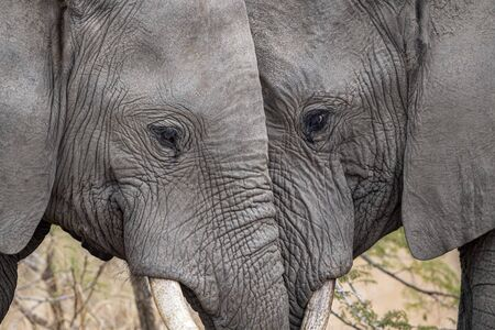 elephant playing in kruger park south africa close up