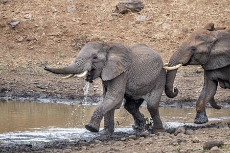 elephant fighting while drinking at the pool in kruger park south africa and running Reklamní fotografie