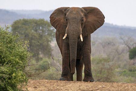 big elephant in kruger park south africa looking at you Reklamní fotografie
