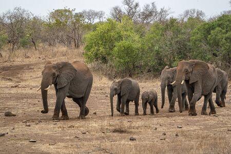 elephant group walking in kruger park south africa