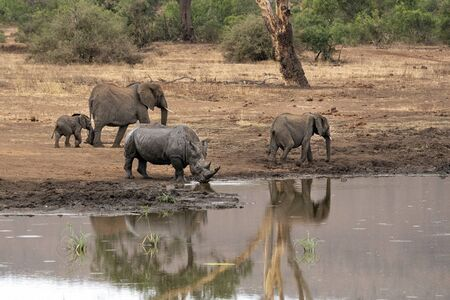 elephants and rhino while drinking at the pool in kruger park south africa