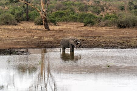 elephant while drinking at the pool in kruger park south africa