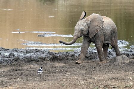 baby elephant waving trunk in kruger park south africa portrait Reklamní fotografie