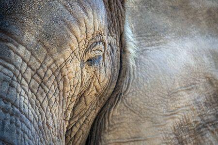 elephant eye close up in kruger park south africa detail