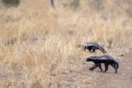 honey badger in kruger park south africa close up