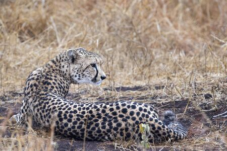 cheetah wounded in kruger park south africa close up