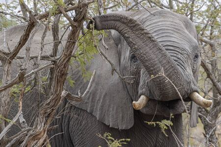 elephant while eating marula tree fruit in kruger park south africa detail